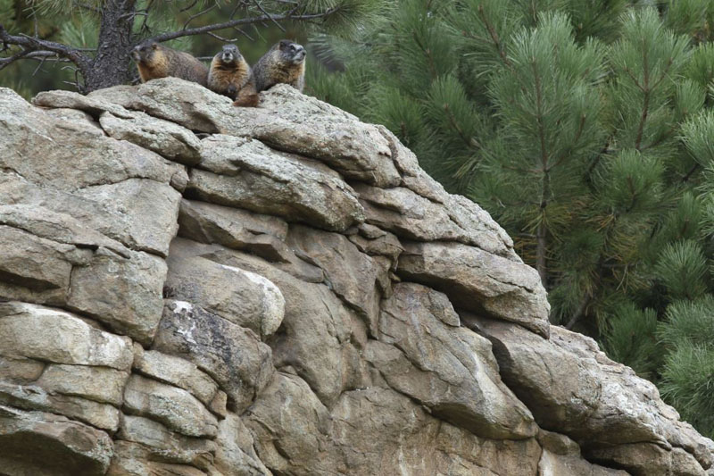 Marmots sitting on top of rocks at Evergreen Golf Course