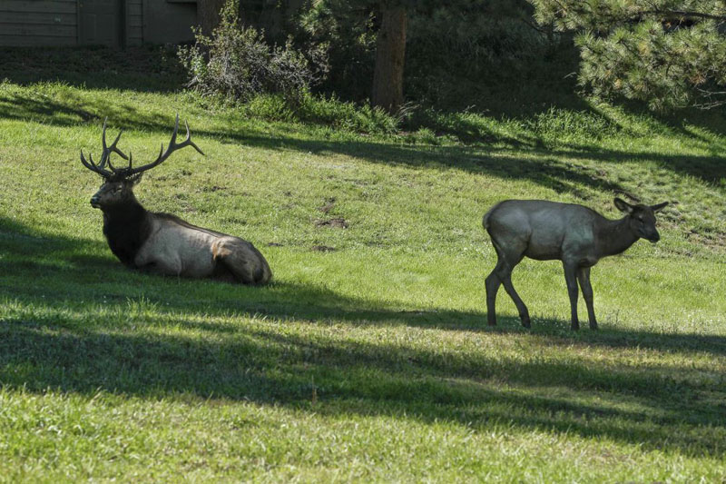 Two elk resting in the shade at Evergreen Golf Course